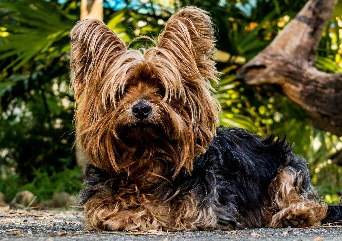 perros que no dan alergia Yorkshire Terrier