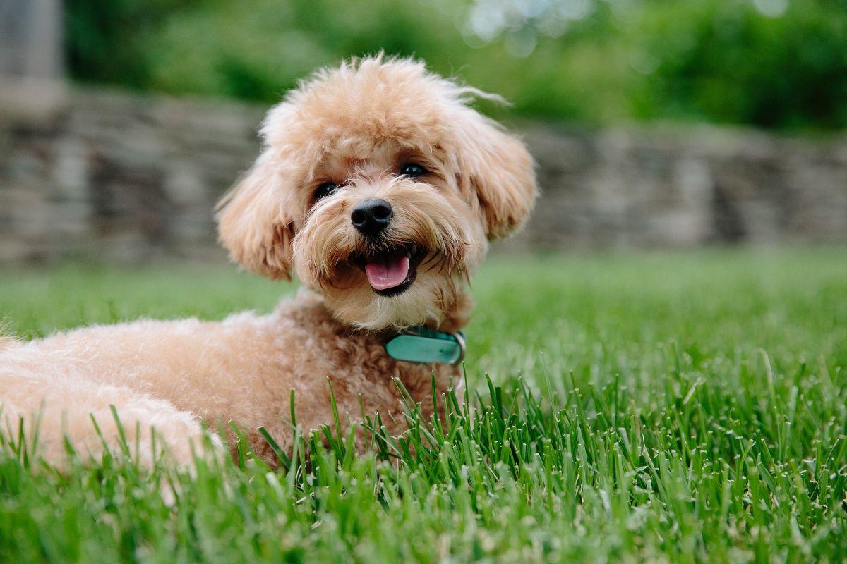 perros que no dan alergia Caniche