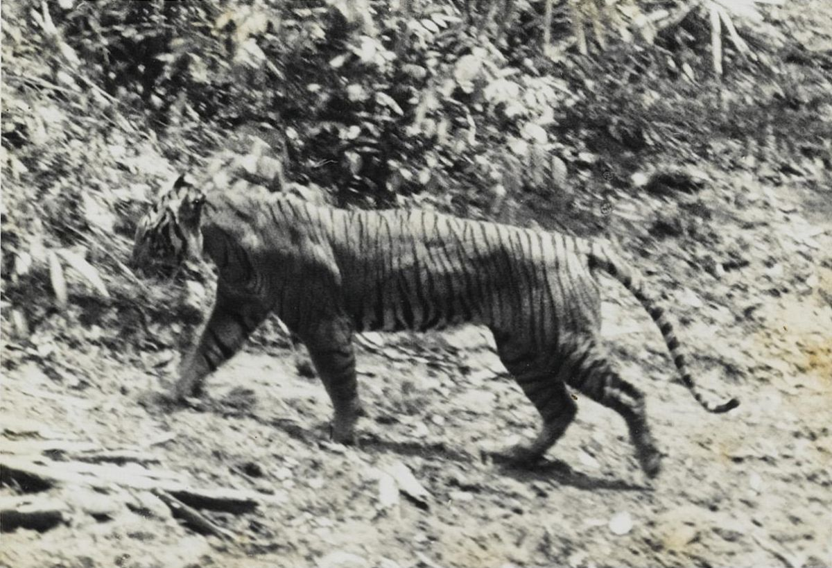 Características del tigre de Java