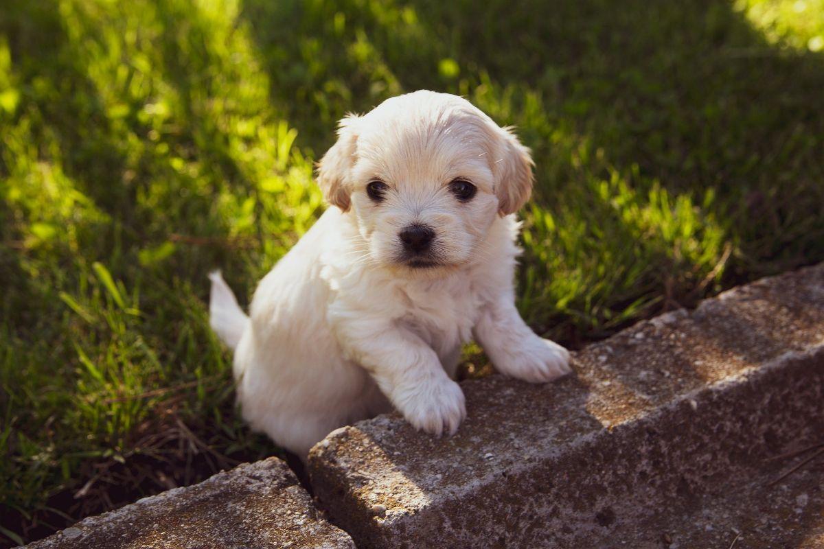 Perros pequeños que no crecen