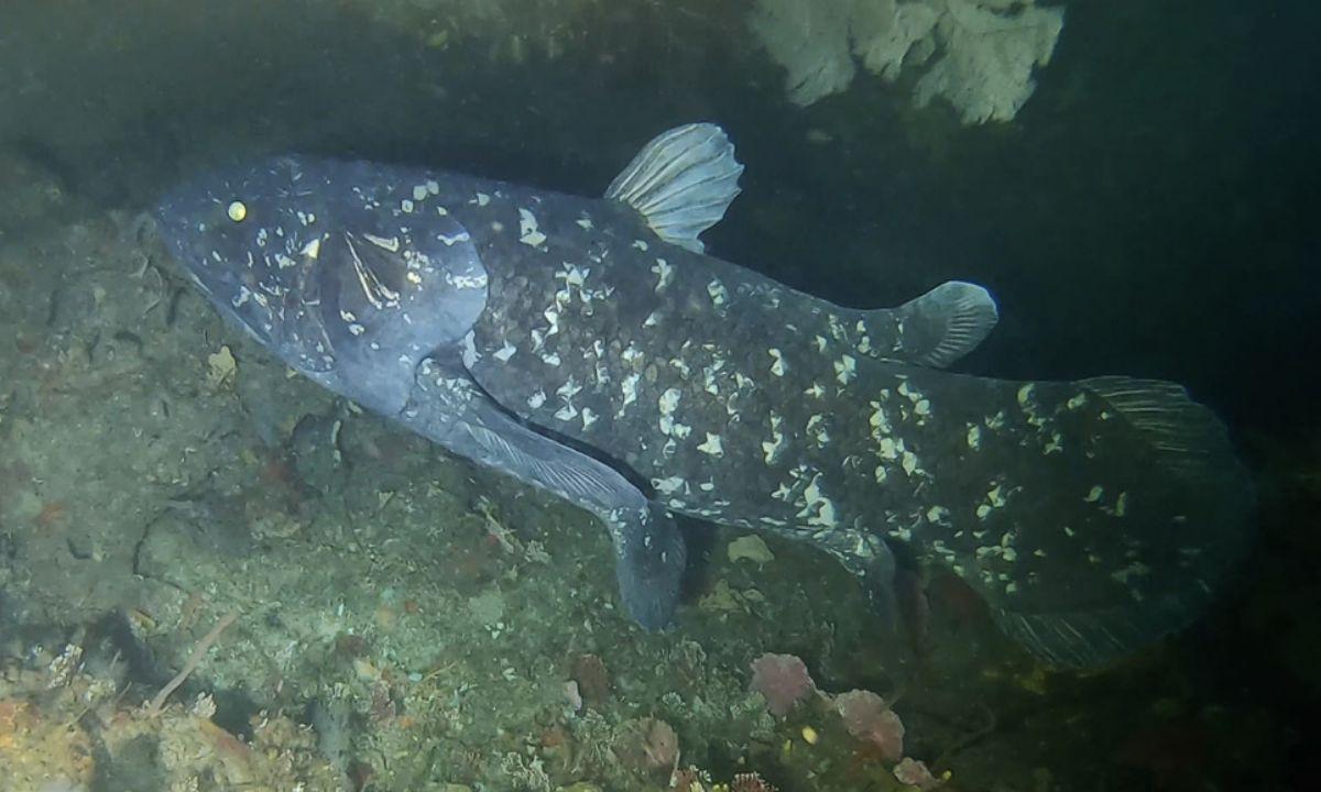 La alimentación del celacanto