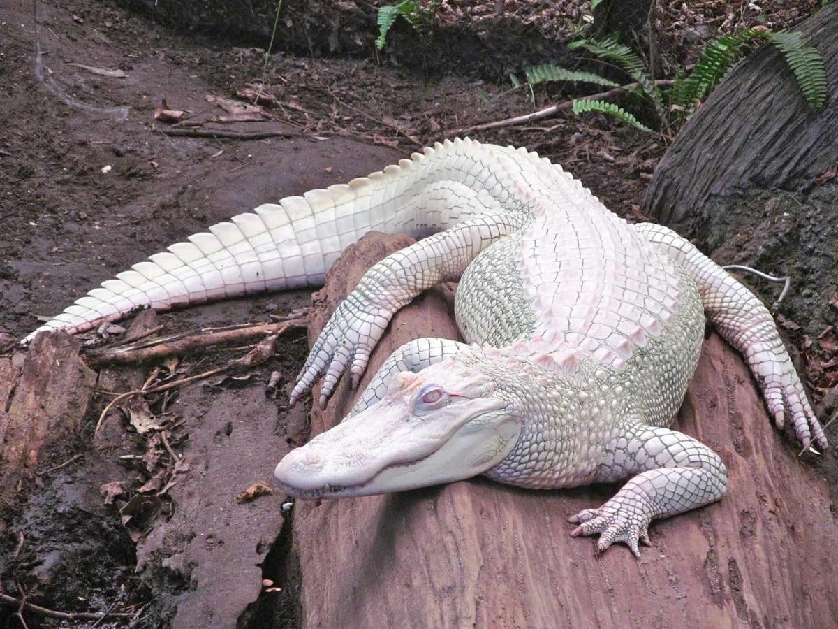 cocodrilo albino zoologico