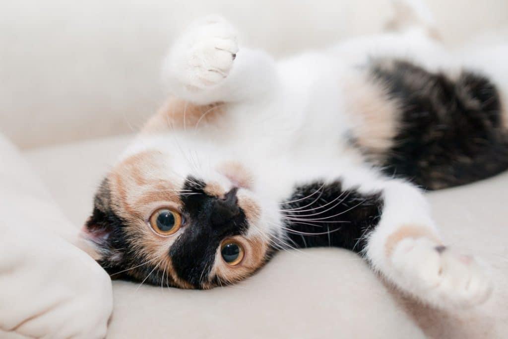 Comportamiento de los Gatos Arriba