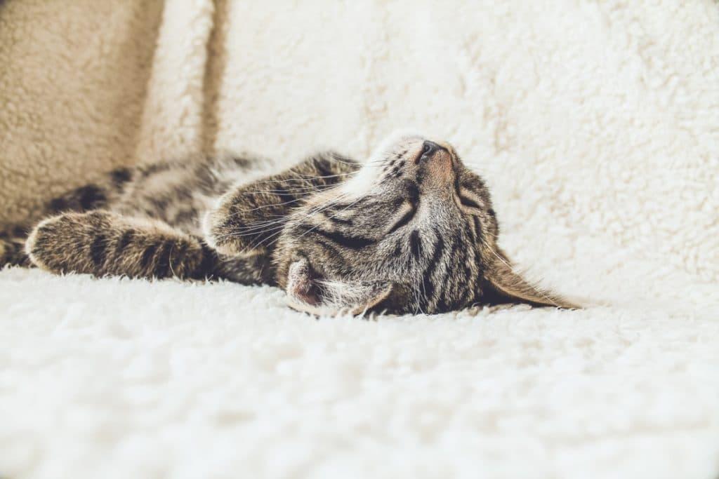 Comportamiento de los Gatos Barriga