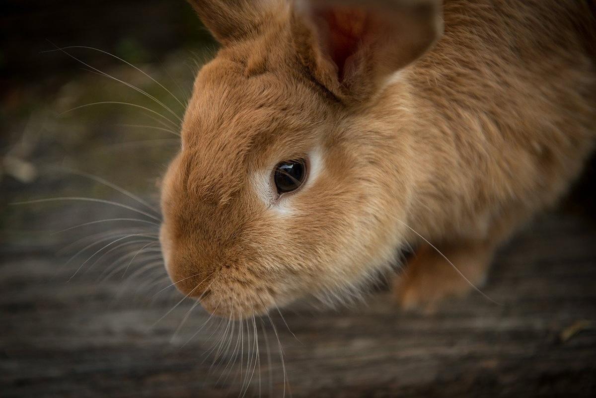 Los dientes de los conejos no paran nunca de crecer