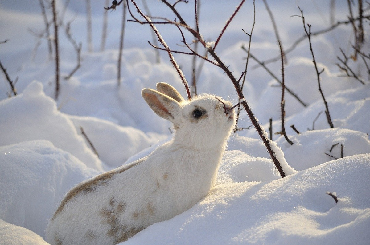 Los conejos están adaptados a una vida con los humanos
