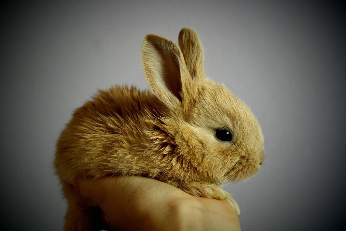 La domesticación de los conejos es bastante reciente