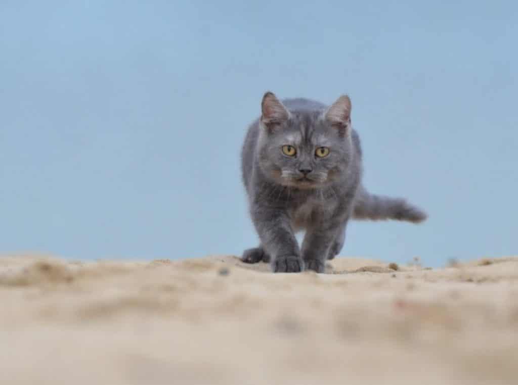 Un gato pasea por la arena, lugar ideal donde enterrar sus necesidades