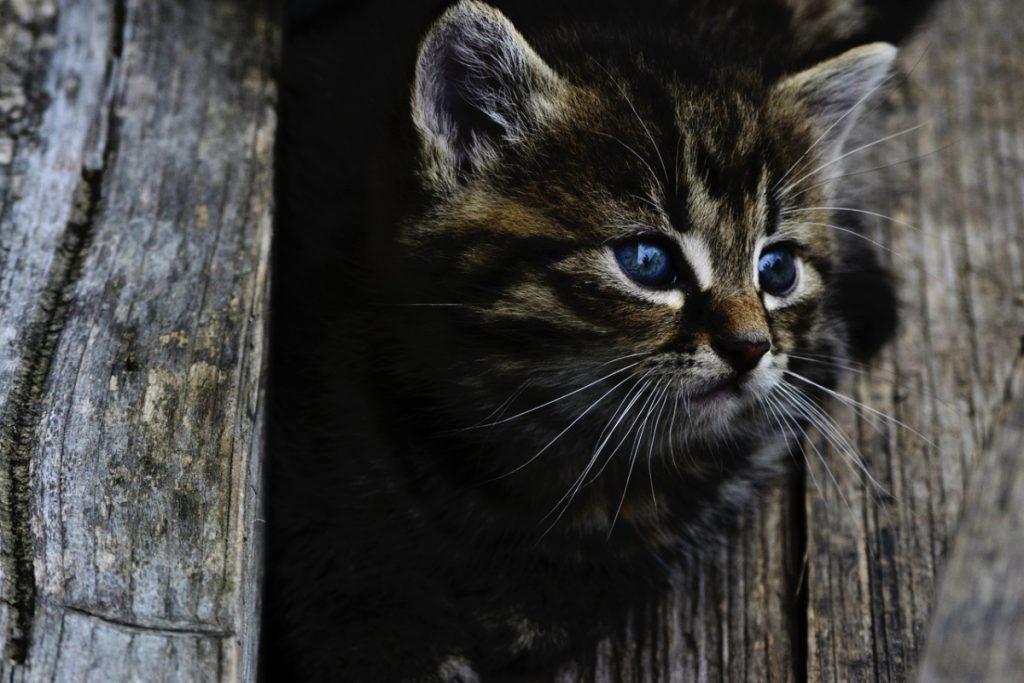Un gatito precioso aún con los ojos azules