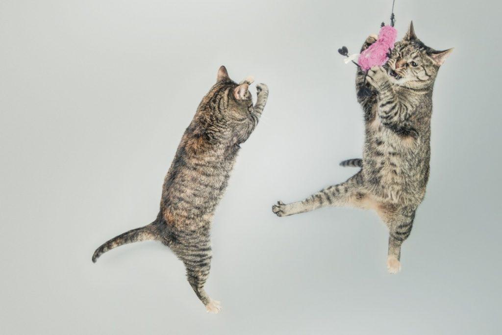 Dos gatos saltando y jugando