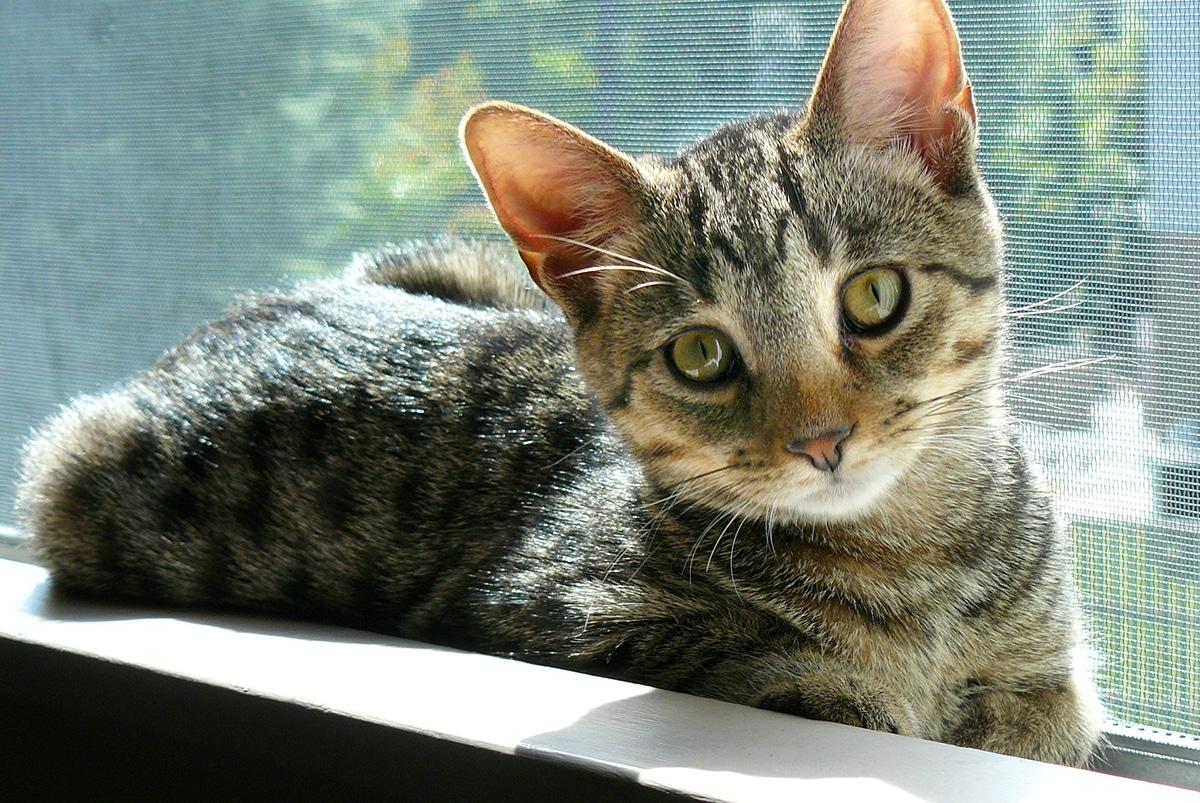 El pronóstico para algunas enfermedades de gatos es malo
