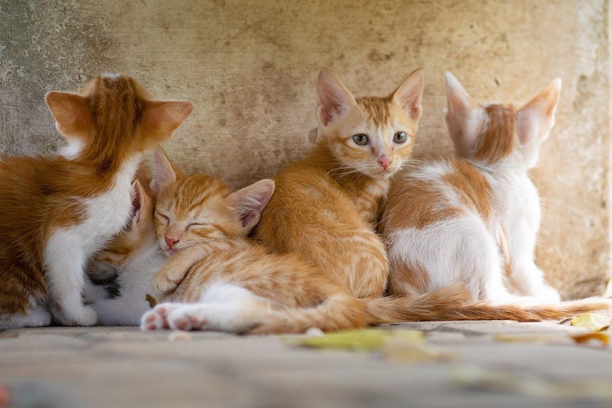 Entre las enfermedades de gatos, la panleucopenia es muy contagiosa