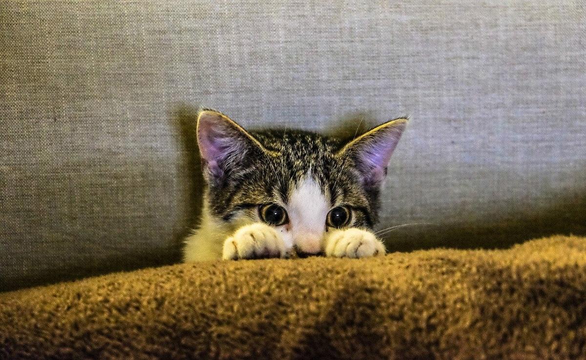 La vacuna trivalente de los gatos debe ser administrada anualmente