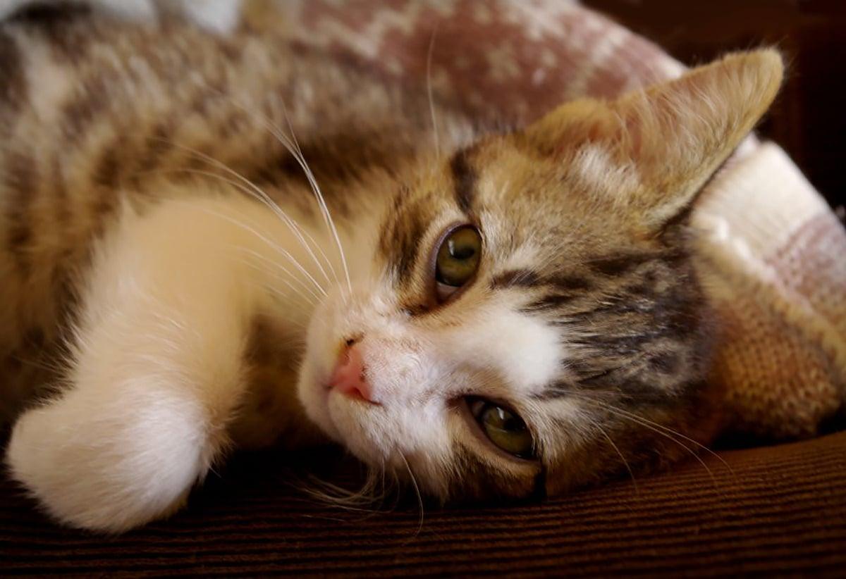 El herpesvirus puede provocar un lagrimeo constante en los gatos