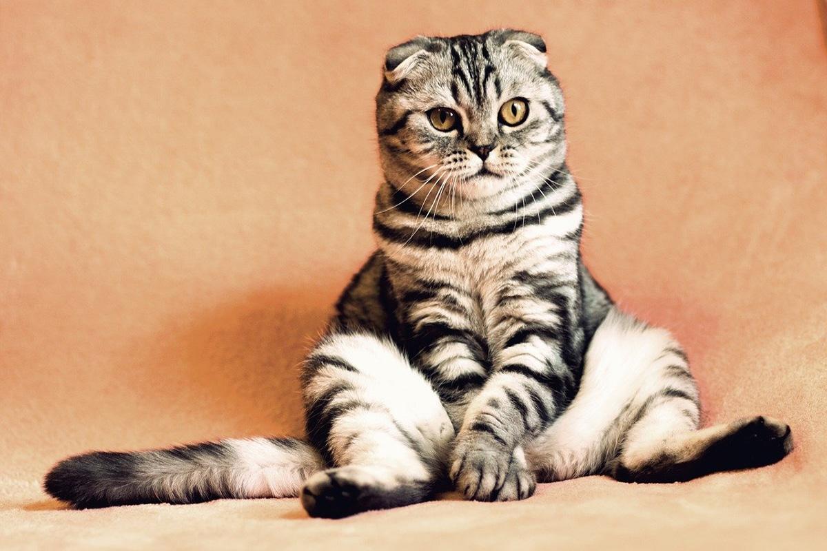 El complejo respiratorio felino está compuesto por varias enfermedades de gatos