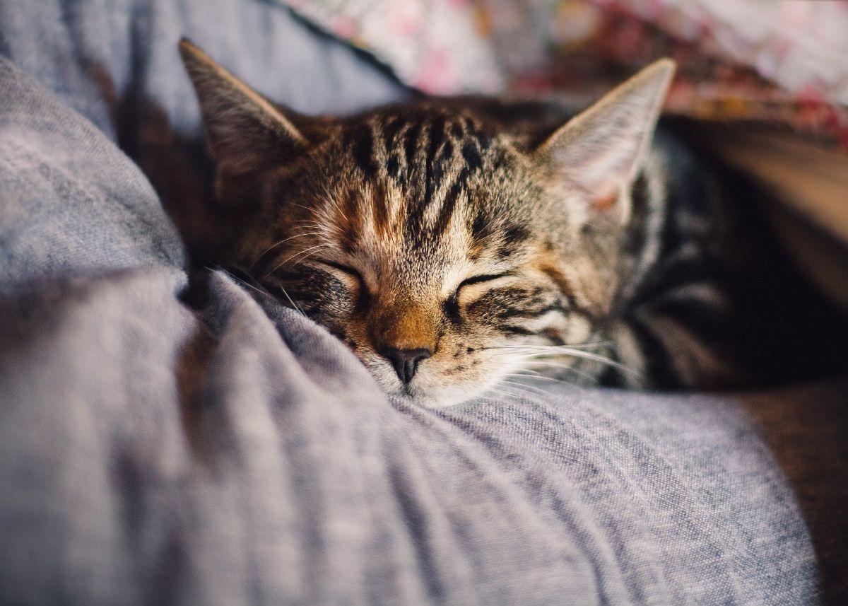 Por qué se produce la alergia a los gatos