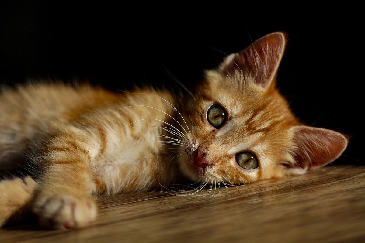 Existen muchas enfermedades de gatos que son infecciosas