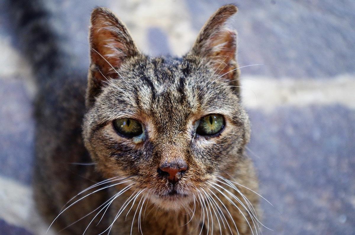 Es fácil confundir la leucemia felina con la inmunodeficiencia felina