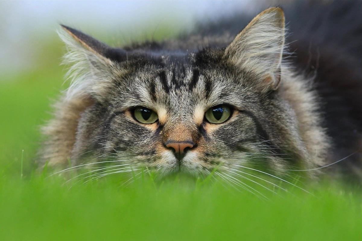 La insuficiencia renal en gatos es bastante frecuente