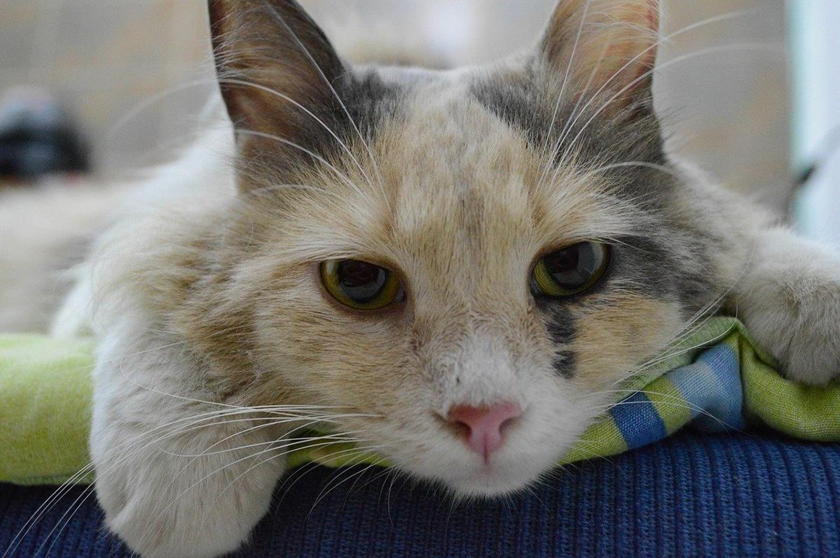Los gatos pueden padecer insuficiencia renal aguda o crónica