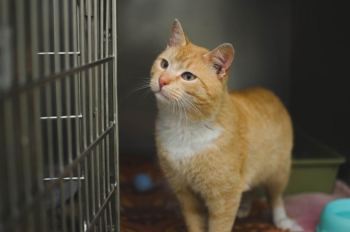 La inmunodeficiencia felina y la leucemia en gatos son bastante similares