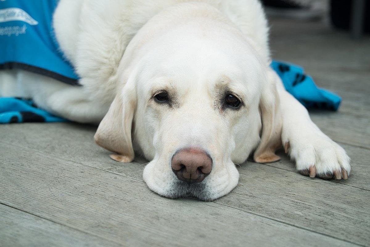 La mayoría de enfermedades de perros son infecciosas