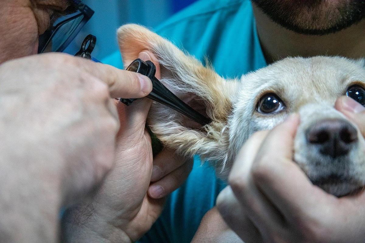 Para tratar y prevenir enfermedades de perros, debemos acudir al veterinario
