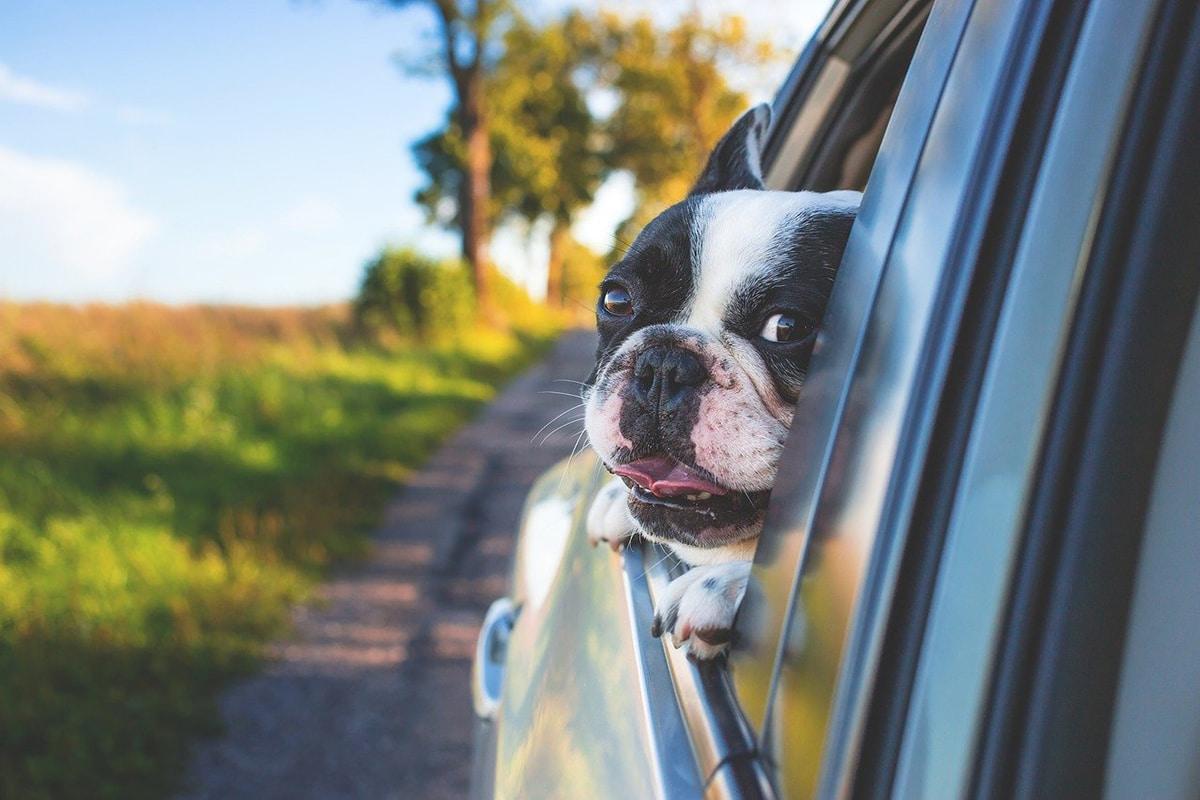 Debemos tener en cuenta las normas de la DGT para llevar a nuestra mascota en coche