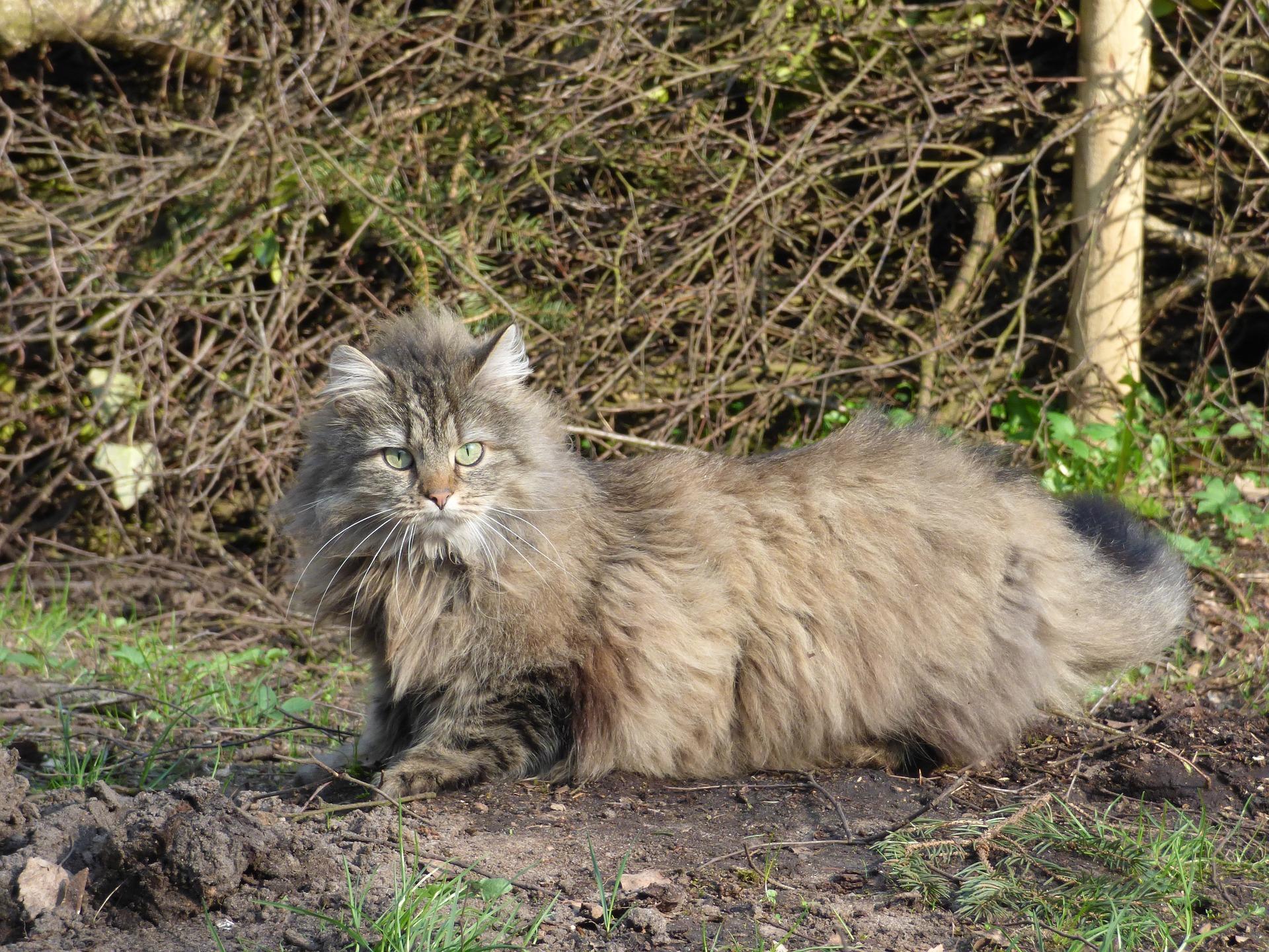 Razas de gatos de pelo largo más conocidas