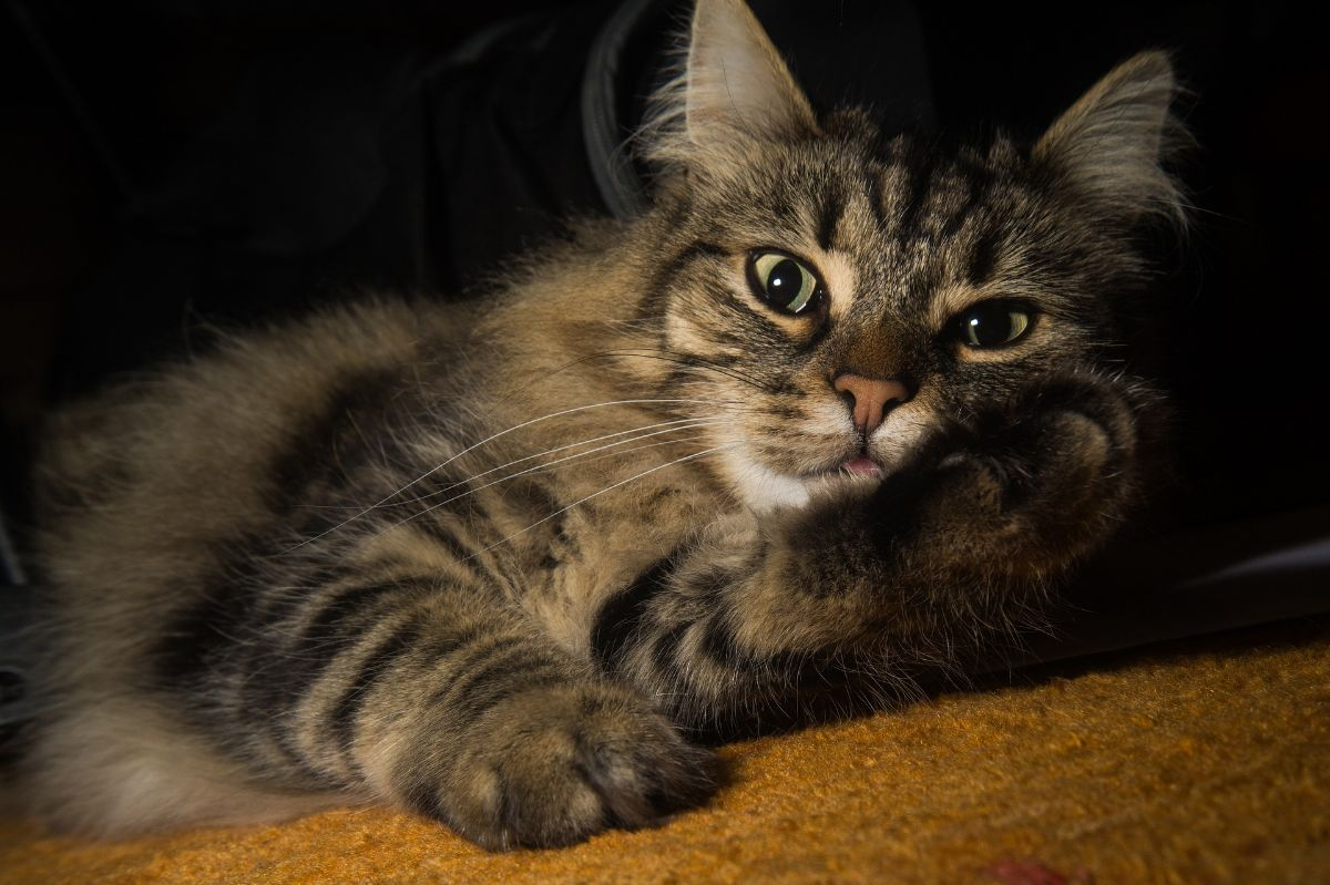 razas de gatos grandes: Bosque de Noruega