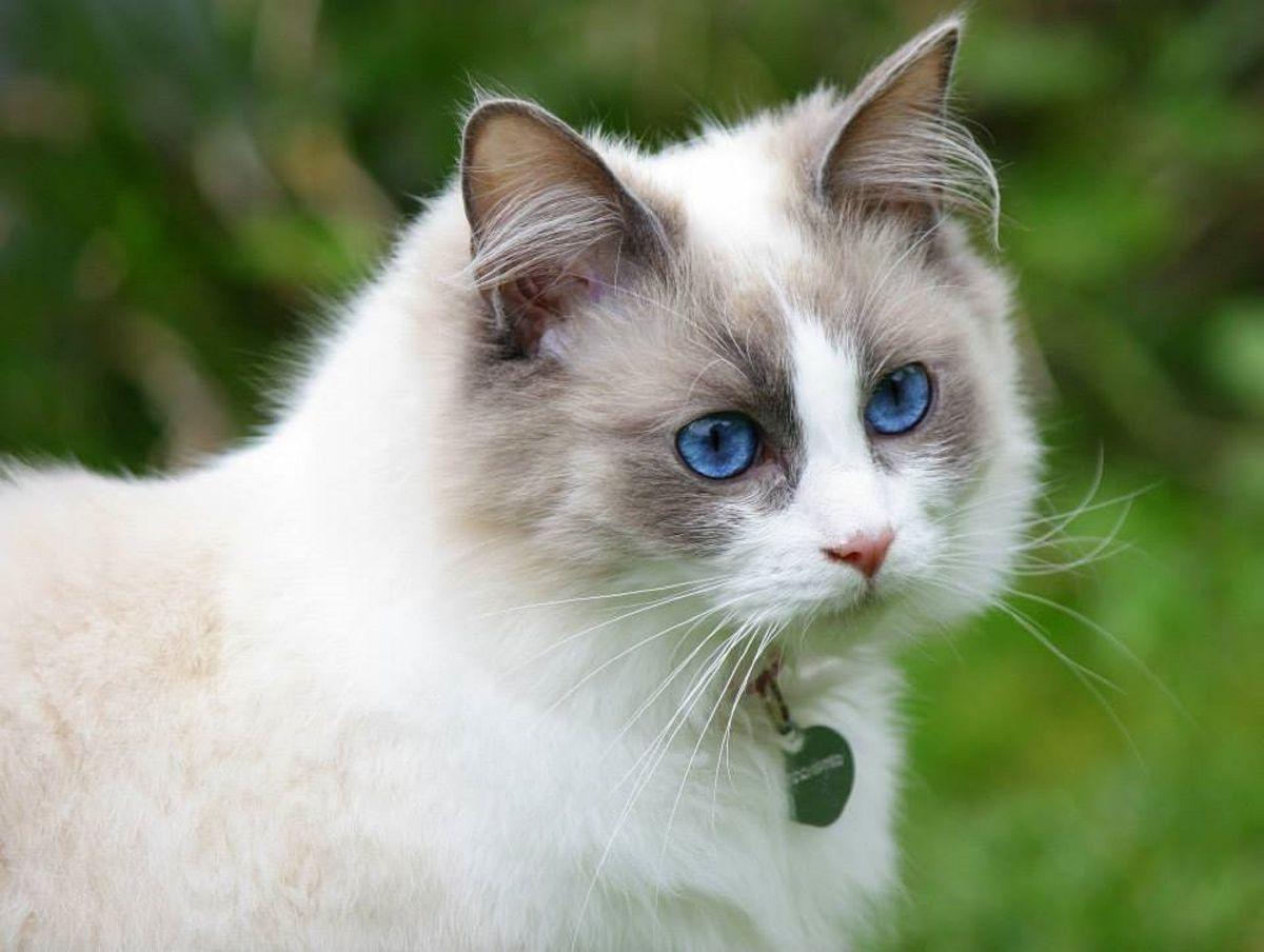 razas de gatos grandes: ragdoll