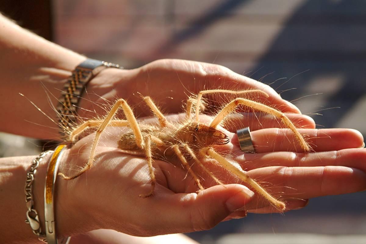 tamaño de la araña camello