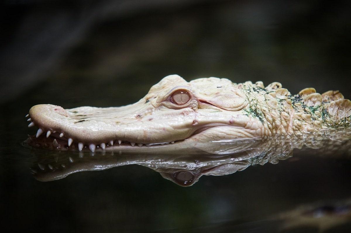 variedad de cocodrilo