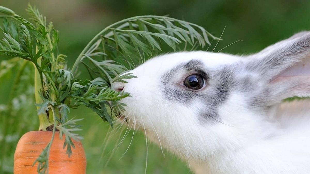 zanahoria y conejos