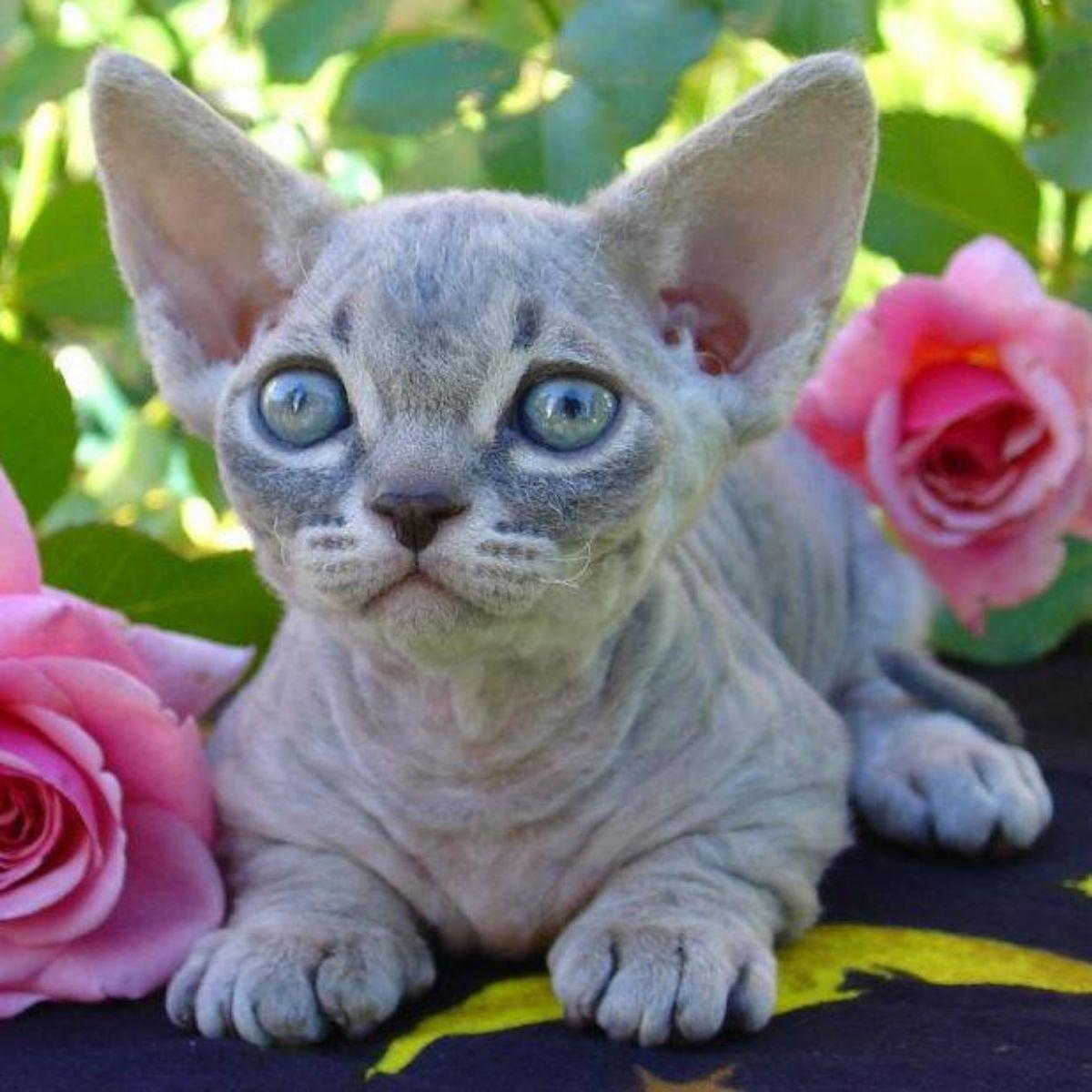 Razas de gatos pequeños: Gato Minskin