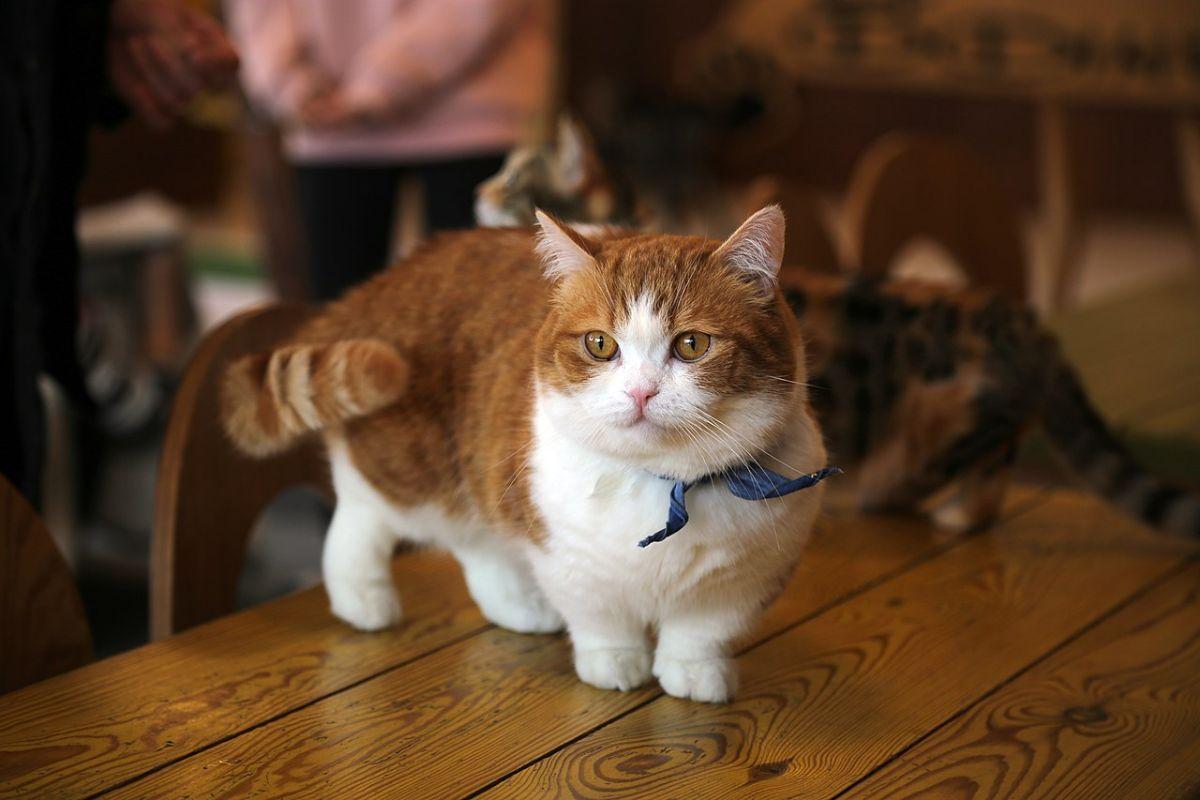 Razas de gatos pequeños: Munchkin