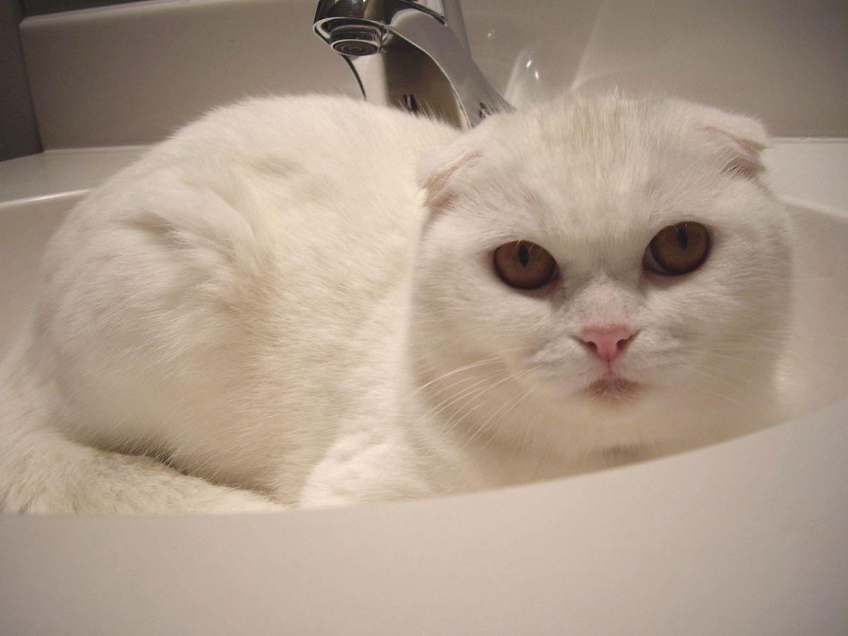 Razas de gatos pequeños: Scottish Fold