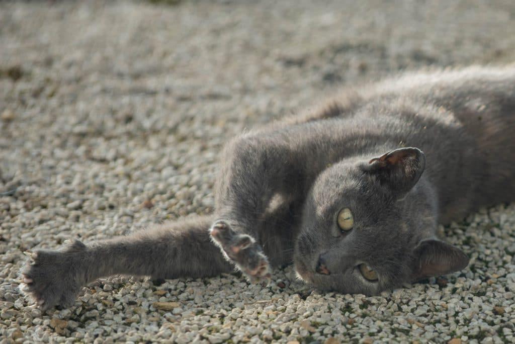 Gato amasando al aire