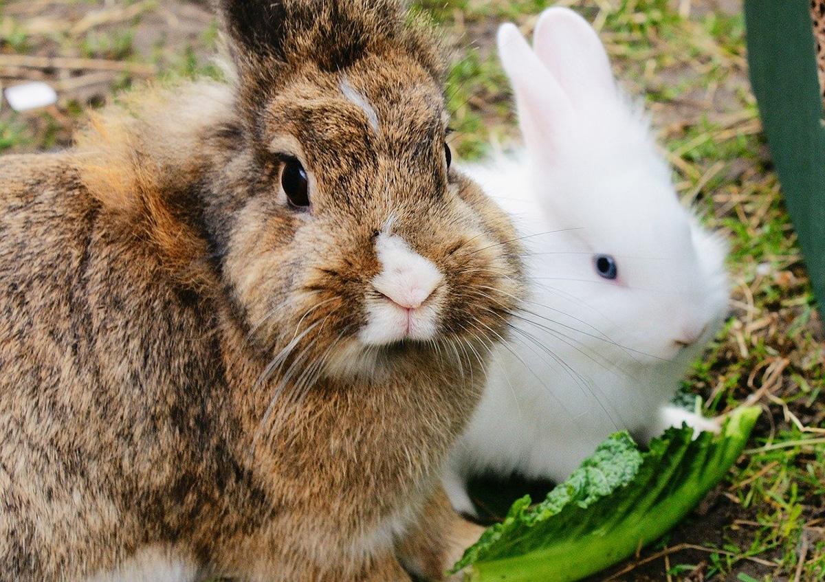 Algunas verduras que pueden comer los conejos deben ser de consumo diario