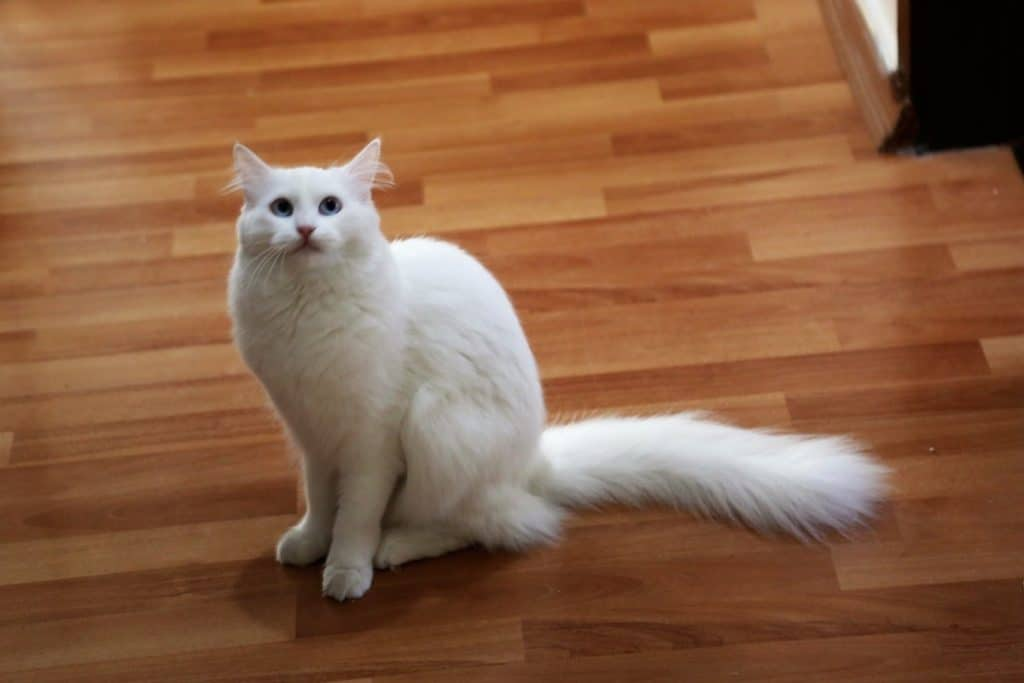 Un gato blanco con la cola peluda.