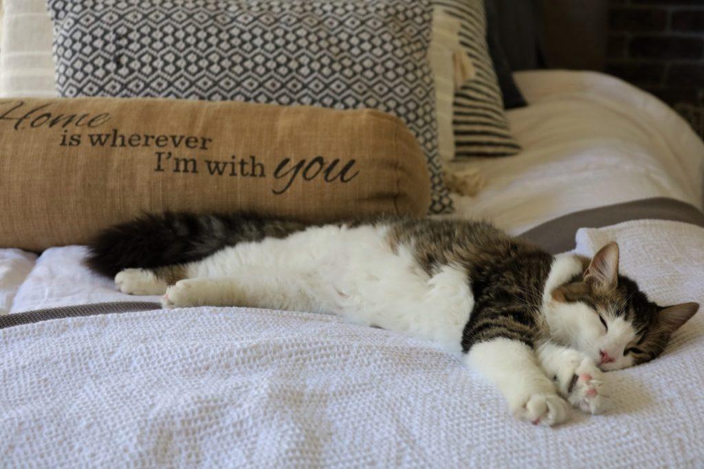Gato tumbado en la cama