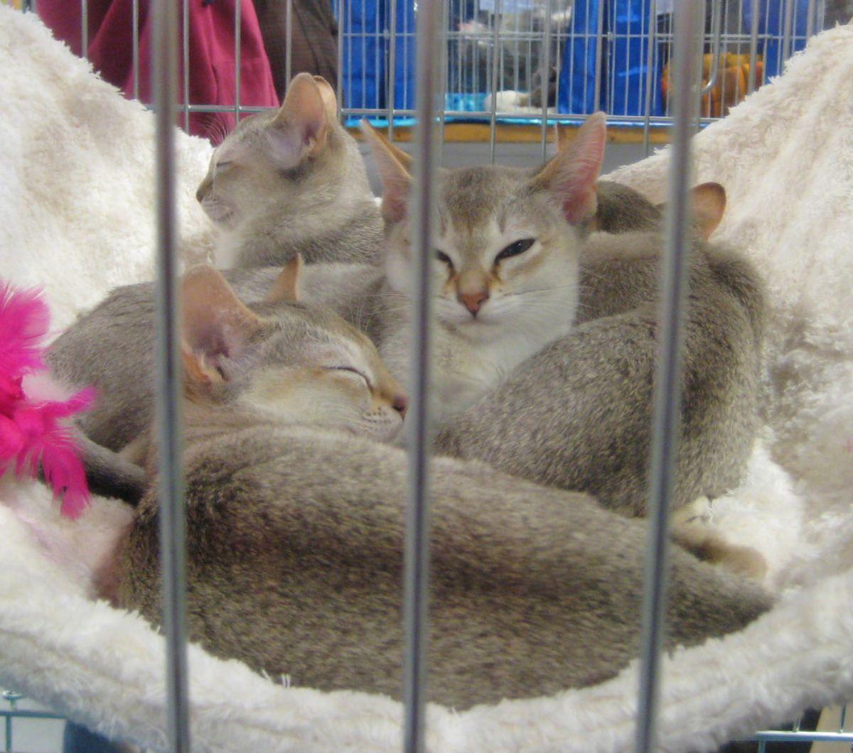 gatos de raza pequeñas gato de Singapur