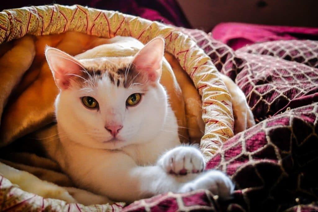Gato ronroneando en una manta.