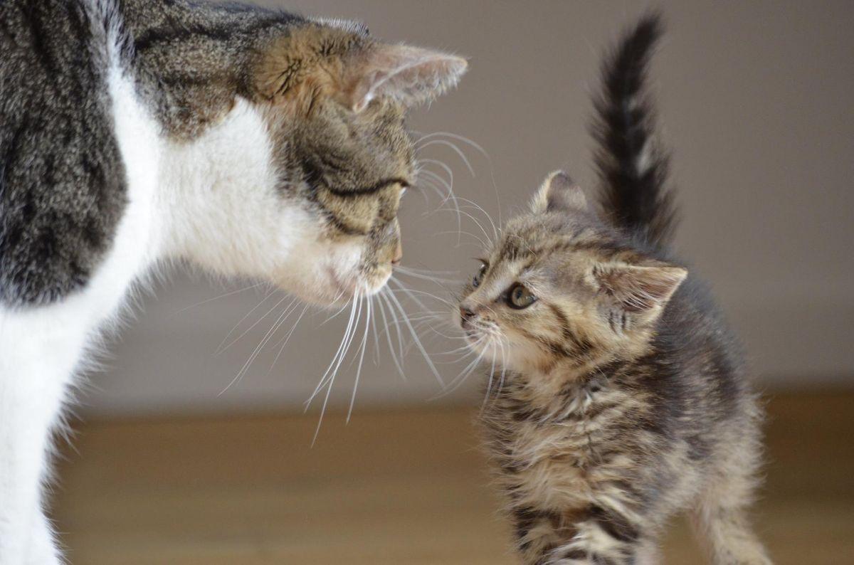 gatos de raza pequeñas