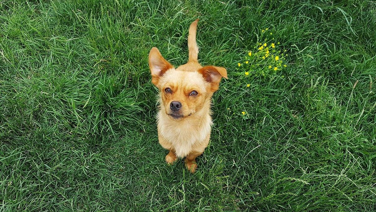 Existen varios motivos que explican por qué los perros comen hierba