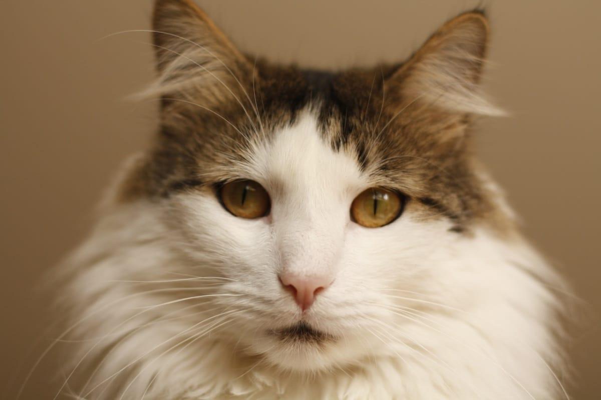 Gato con mirada al frente.