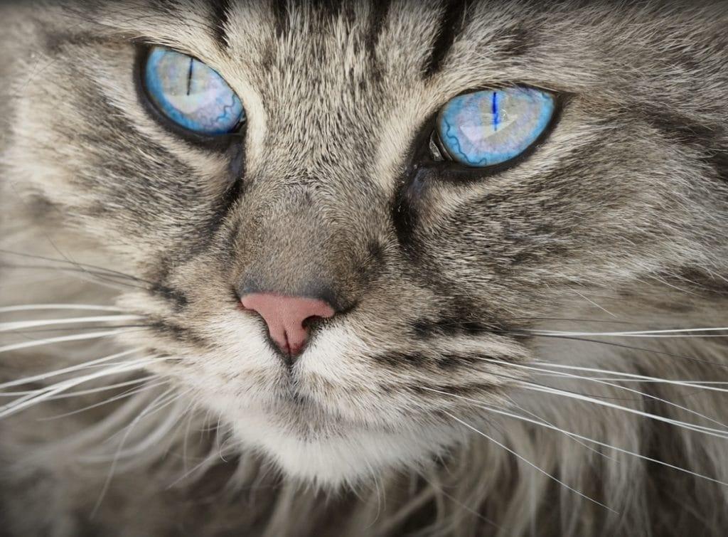 Gato gris con ojos azules.
