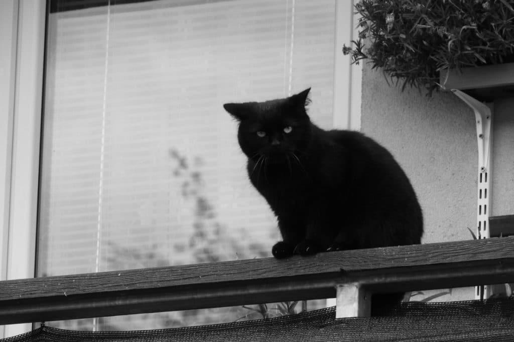 Gato negro con las orejas hacia atrás.