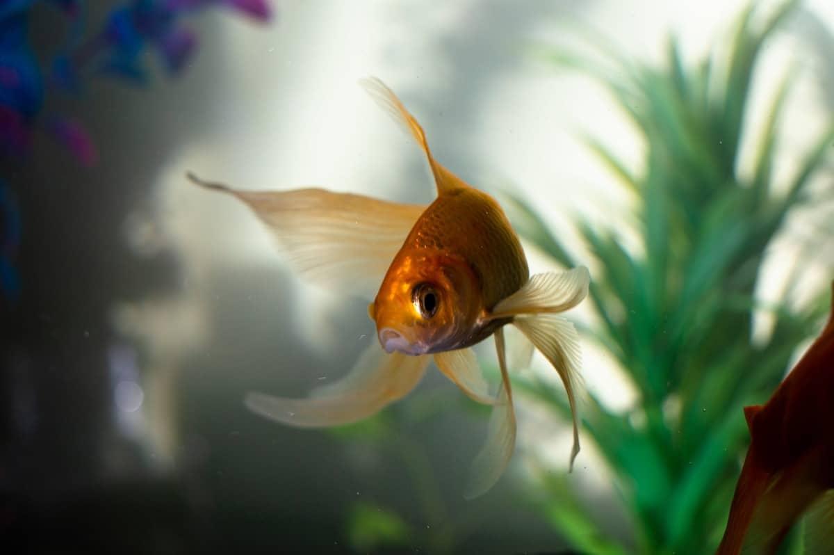 peces de agua fria en acuarios