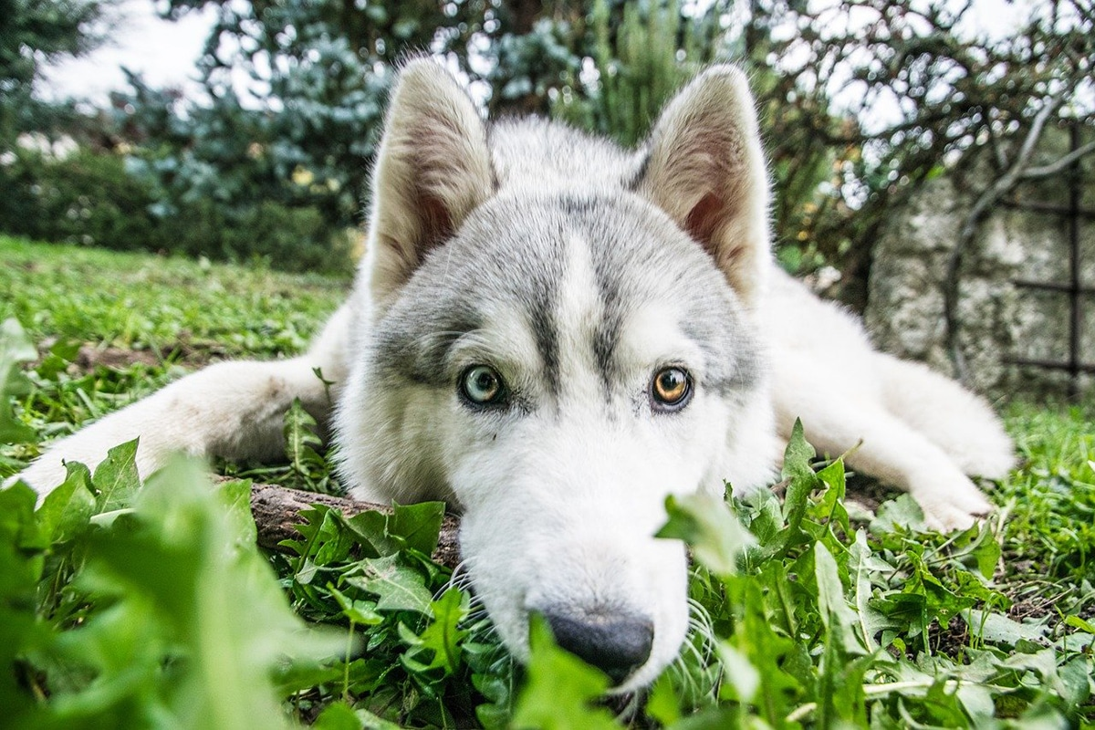 Si los perros comen hierba de forma continuada debemos acudir al veterinario